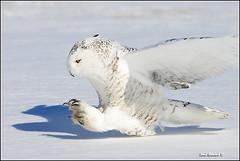 20110112-0147 Snowy Owl (Earl Reinink) Tags: snow raptor owl snowyowl owlinflight snowyowlinflight earlreinink wwwearlreininkcom wwwipaintca