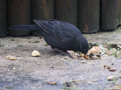 Blackbird Digging in Concrete