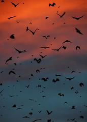 Kasanka Bats at Sunset 1