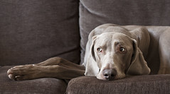 1/12 busy bee watching (dohlongma) Tags: project raw jan sofa weimaraner getty months 12 care 12months challenge monthly 2011 lookafter explored watchover dohlong 12monthsfordogs 12moschallenge
