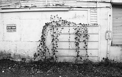 Vines... 20110104_5751 (listorama) Tags: washington kent building 105building vine blackberry overgrown decay communication sign lightroom bw 700