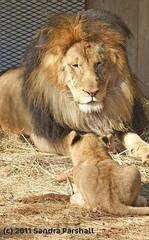 Luke contemplating fatherhood (Sandra Parshall) Tags: lions nationalzoo infocus highquality blueribbonwinner lukeandcub