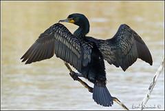 20110421-1138 Double-crested Cormorant (Earl Reinink) Tags: cormorant waterfowl doublecrestedcormorant earlreinink wwwearlreininkcom wwwipaintca