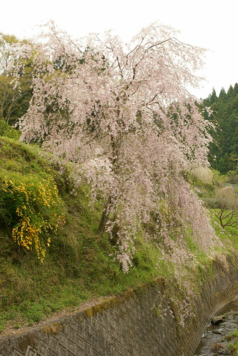 Full bloom of Weeping Cherry