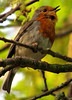 Give us a song (Mr Grimesdale) Tags: robin britishbirds gardenbird stevewallace mrgrimesdale