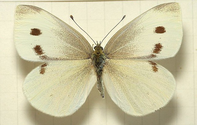 800px-Pieris.rapae.mounted