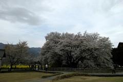 DP1M0892 (Keishi Etoh rough-and-ready photoglaph) Tags: flower cherry sigma  cherryblossoms aso kumamoto foveon  dp1   dp1m dp1merrill cherrytreeofissingyo sigmadp1merrill