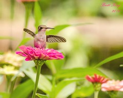 hummingbird and Wild Floweres (dbking2162) Tags: nature wildlife flowers flower hummingbird birds bird pink animal botanical garden wild outside outdoor
