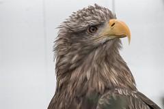 Is it Dinner time ? (Evoljo) Tags: ailweebirdsofprey countyclare ireland theburren birds nature feathers flight nikon d500