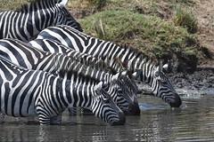 10078190 (wolfgangkaehler) Tags: 2016africa african eastafrica eastafrican kenya kenyan masaimara masaimarakenya masaimaranationalreserve marariver wildlife migration migrating waiting drinking drinkingwater zebras plainszebrasequusquagga burchellszebra burchellszebraequusquagga burchellszebras