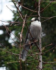 101119-11 (ke_lantz) Tags: birds wildlife greyjay perisoreuscanadensis jaysandcrows flycatcherstowaxwings
