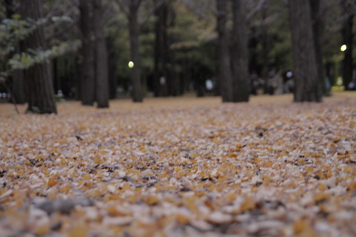 Ground carpeted with ginkgo leaves