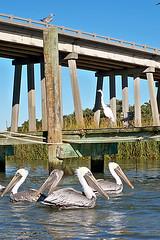 pelicans (For91days) Tags: lighthouse pelicans nature river kayaking pelikan savannah leuchtturm kayaks