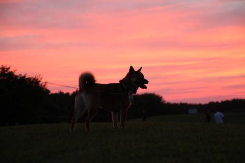 柴犬と夕焼け