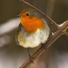 robin  (EXPLORED) (blackfox wildlife and nature imaging) Tags: nature robin birds wales canon wildlife mold 5star redbreast 50d specanimal 400mml secretvalleyreserve