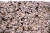 Living flokati rug (:Linda:) Tags: snow texture animal germany beige funny village sheep flock thuringia rug schaf flokati naturalpattern similarto naturaltexture resembling ähnlich bürden