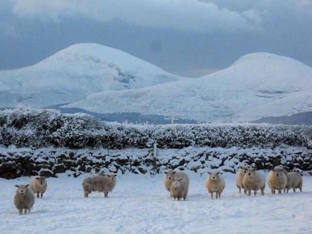 在雪中的绵羊