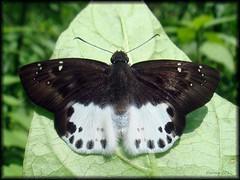 Spotted Snow Flat (Parag Giri) Tags: india macro lepidoptera darjeeling mirik hesperiidae pyrginae butterflyindia tagiadesmenaka   himalayanbutterfly mirikbutterfly darjeelingbutterfly  spottedsnowflat