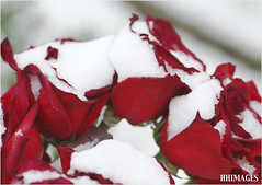 Snow and Roses (shootforu.com) Tags: flowers winter red roses white snow cold colour green frozen petals freezing pure
