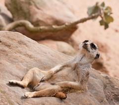 Happy Meerkat (edwindejongh) Tags: animal funny erection relaxed dier stokstaartje stiffy stokstaart exposing uitdrukking erectie tevreden dierenfotografie zelfvoldaan