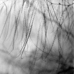 curtain (menanderman) Tags: 120 6x6 film monochrome zeiss square blackwhite bush bokeh 11 jena carl medium format kiev ilford fp4 60 sonnar 180mm homedeveloped fomat