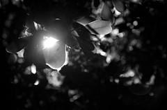 Have you ever thought how a leaf would experience sunrise? | 101205-7634-jikatu (jikatu) Tags: bw sun tree hoja sol sunrise canon garden uruguay leaf nikon published jardin amanecer transparency nikkor afs maldonado puntadeleste transparencia wideanglezoom 1424mm nikon1424 1424mmf28 nikon1424mmf28g canon5dmkii nikon1424mmf28gedafs jikatu baikovicius