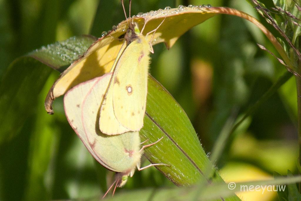 clouded sulphur butterfly  03.jpg