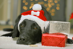 Can I eat it now? (butacska) Tags: santa christmas xmas dog black lab bokeh gifts presents santahat