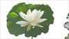 White Lotus Flower - IMG_3292-830 (Bahman Farzad) Tags: white flower macro yoga peace lotus relaxing peaceful meditation therapy lotusflower lotuspetal lotuspetals lotusflowerpetals lotusflowerpetal