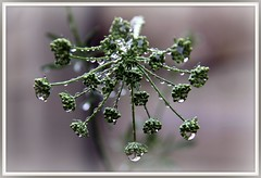 Parsley jewels (W J (Bill) Harrison) Tags: nature water diamonds 3d seeds seedhead raindrops parsley jewels waterdrops picnik photographyrocks canoneos50d naturesjewellery platinumheartaward wjbillharrison