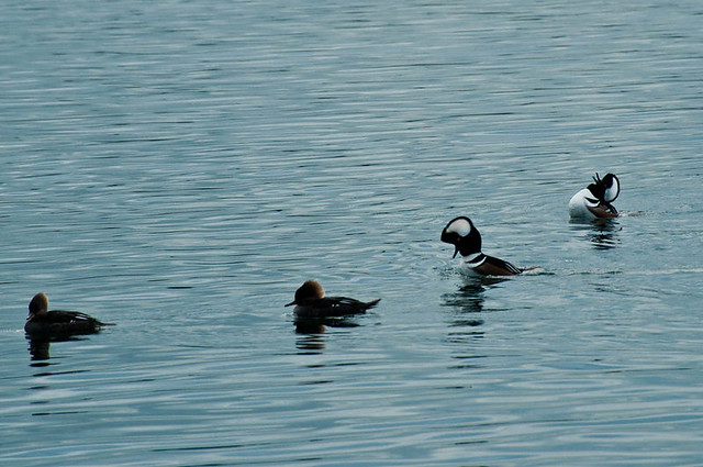 Male Hooded Mergansers (Lophodytes cucullatus) displaying