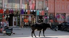 Sacred Cow, Jaipur, India (Wilamoyo) Tags: india animals jaipur townsvillages buildingsarchitecturemonuments