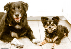 Trooper and Buster (Pawsome33) Tags: dog canada trooper foster buster chion papihuahua chiapap