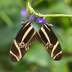 Butterfly Magic, Tucson Botanical Gardens (Jim Purcell) Tags: arizona usa tucson tucsonbotanicalgardens starlens butterflymagic tucsonphotographer pentaxk5 smcpentaxda50135mm28edifsdm