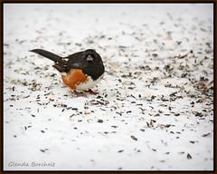 This Stuff Is for the Birds (glenda.suebee) Tags: ohio snow birds pinetree seeds glenda 2010 easterntowhee birdfeed rufoussidedtowhee nearbynature ohiofoothills ohionaturephotographers