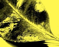 """Etudes de feuilles"" (YAZMDG (15,000 images)) Tags: leaves moss seeds fungi bark nsw lichen pods florafauna yaz northernrivers yazminamicheledegaye yazmdg ystudio"
