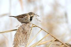 Pausa pranzo -  Migliarino di Palude (Ivan Chiandetti) Tags: birds natura uccelli birdwatching friuli reedbunting emberizaschoeniclus migliarinodipalude vallecavanata
