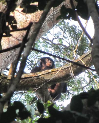 bonobo 2 west of Loidjo