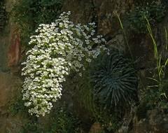 Pyrenäen-Steinbrech, NGIDn31050821 (naturgucker.de) Tags: spanien sanjuandelapena naturguckerde aragn saxifragalongifolia cjrgenwolfgangberg ngidn31050821