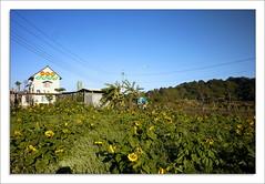 P1080168 (Y.R. Chen) Tags: flower digital lumix asia voigtlander taiwan panasonic 12mm f56   miaoli 43 2010     ultrawideheliar m43 gf1 nanchuang   1256 miaolicounty mmount vc12   micro43 panasonicgf1 mtom43