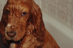 (Raquel Malln) Tags: cute wet beautiful bathroom shower days mai when spaniel 365 cocker doggie slippery
