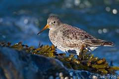 Purple Sandpiper (phil.jeffrey) Tags: usa bird nature wildlife nj avian shorebird barnegatlight purplesandpiper barnegatinlet calidrismaritima wwwcatharuscom