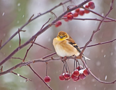 Happy 2011 to All Our Flickr Friends!!!! (JacquiTnature) Tags: winter snow nature snowflakes bokeh wildlife goldfinch aves newyear wv finch happynewyear crabapple carduelistristis songbirds winterbeauty yellowbird sweetfreedom westvirginianature