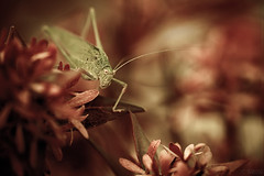 The Dude II (Fab. B) Tags: macro nature canon bug insect bokeh sigma 180 7d grasshopper sauterelle criquet