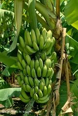 Afgoi, Somalia (aikassim) Tags: farm bananas agriculture somalia hornofafrica eastafrica  afgooye  afgoi shebeelahahoose