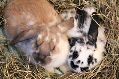 まだらのウサギ