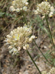 Alliaceae, Allium sp.