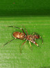 brown jumping spider (♀) from W-Papua featuring ant-mimicry