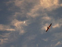 Fly me to the moon.... (Annie in Beziers) Tags: sunset sky france clouds flying lyrics song seagull streetscenes crescentmoon stnazaire bziers annieinbziers
