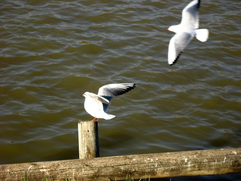 25-12-2010-gulls